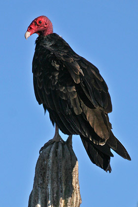 Turkey Vulture Picture @ Kiwifoto.com
