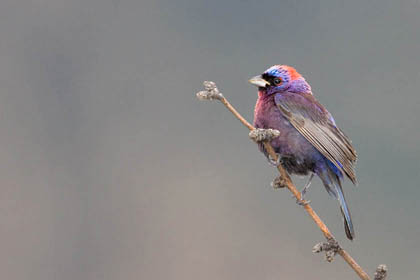 Varied Bunting Picture @ Kiwifoto.com