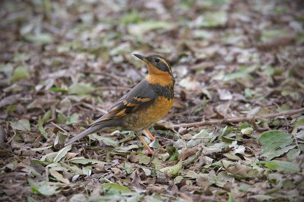 Varied Thrush Picture @ Kiwifoto.com