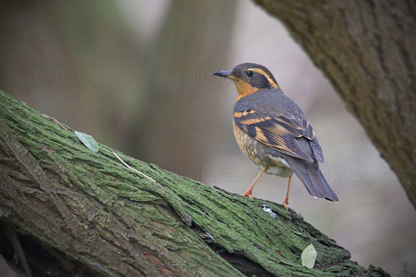 Varied Thrush Photo @ Kiwifoto.com