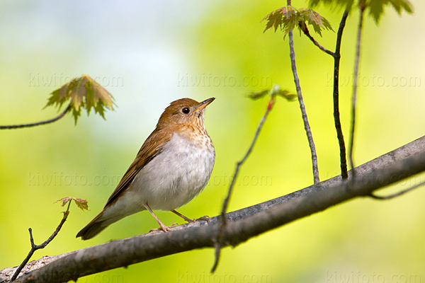 Veery @ Maumee Bay State Park, OH