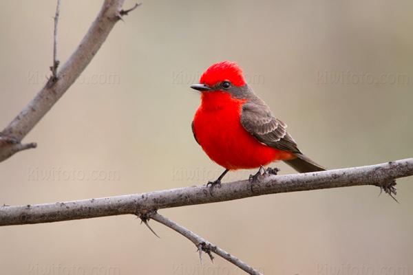 Vermilion Flycatcher @ De Anza Trail, Tubac, AZ
