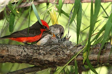 Vermillion Flycatcher Picture @ Kiwifoto.com