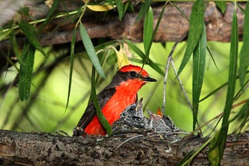 Vermillion Flycatcher Photo @ Kiwifoto.com
