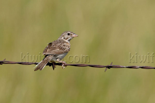 Vesper Sparrow Photo @ Kiwifoto.com