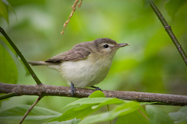 Warbling Vireo Picture @ Kiwifoto.com