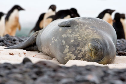 Weddell Seal Picture @ Kiwifoto.com
