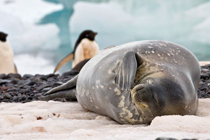 Weddell Seal Photo @ Kiwifoto.com