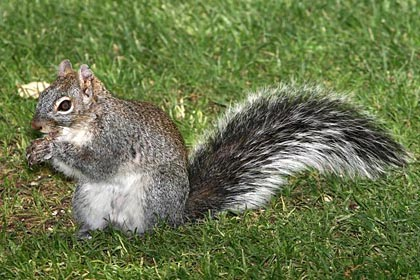Arizona Gray Squirrel (Arizona subspecies)