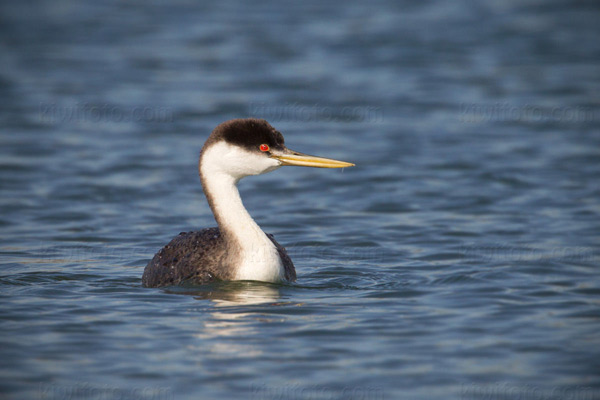 Western Grebe Photo @ Kiwifoto.com