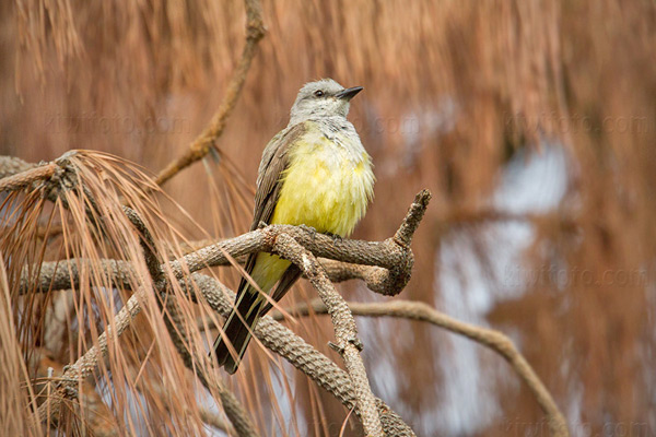Western Kingbird Photo @ Kiwifoto.com