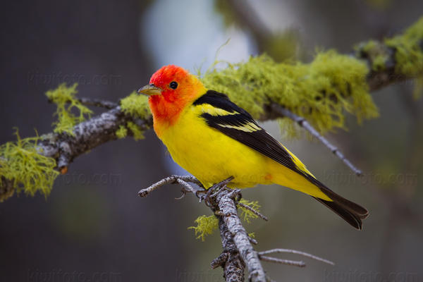 Western Tanager @ Page Meadows, Lake Tahoe, CA