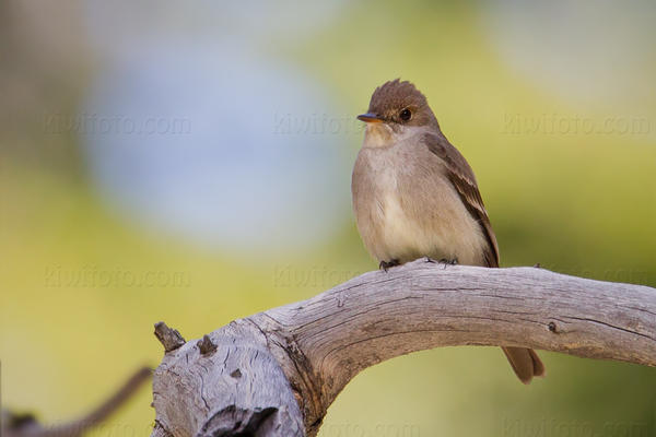 Western Wood-Pewee Picture @ Kiwifoto.com