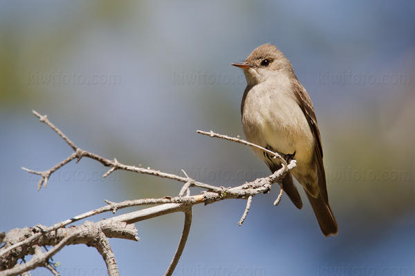Western Wood-Pewee @ Page Meadows, Lake Tahoe, CA