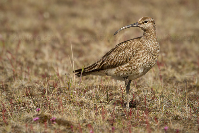 Whimbrel @ Lake Myvatn, Iceland