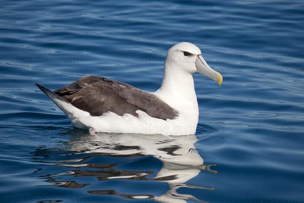 White-capped Albatross @ Kaikoura (Pelagic), New Zealand