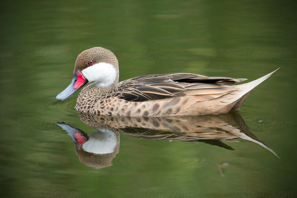 White-cheeked Pintail Photo @ Kiwifoto.com