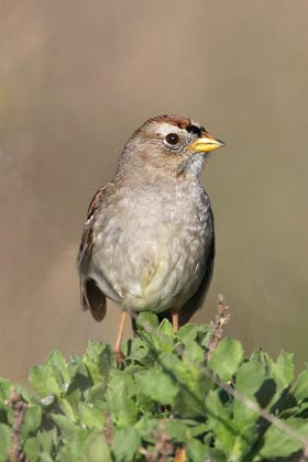 White-crowned Sparrow Picture @ Kiwifoto.com