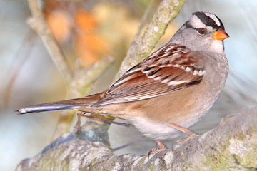 White-crowned Sparrow Image @ Kiwifoto.com