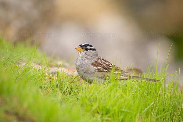 White-crowned Sparrow @ Los Angeles, CA