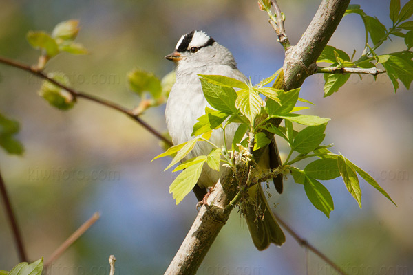 White-crowned Sparrow (Z.l. leucophrys)
