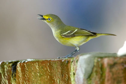 White-eyed Vireo Photo @ Kiwifoto.com