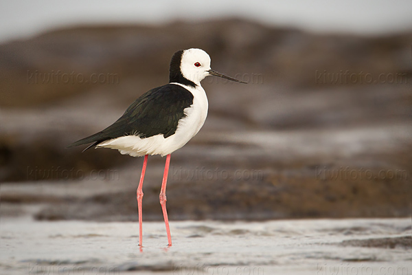 White-headed Stilt Photo @ Kiwifoto.com