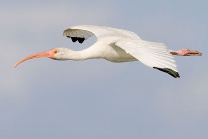 White Ibis Photo @ Kiwifoto.com