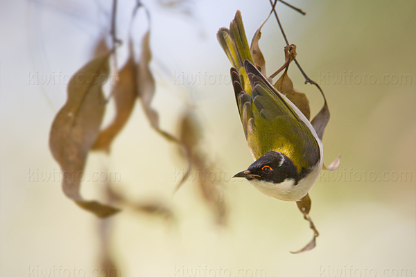 White-naped Honeyeater @ Lemon Tree Passage, New South Wales, Australia