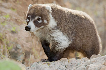 White-nosed Coatimundi Photo @ Kiwifoto.com