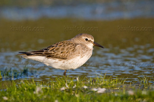 White-rumped Sandpiper Photo @ Kiwifoto.com