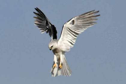White-tailed Kite Picture @ Kiwifoto.com