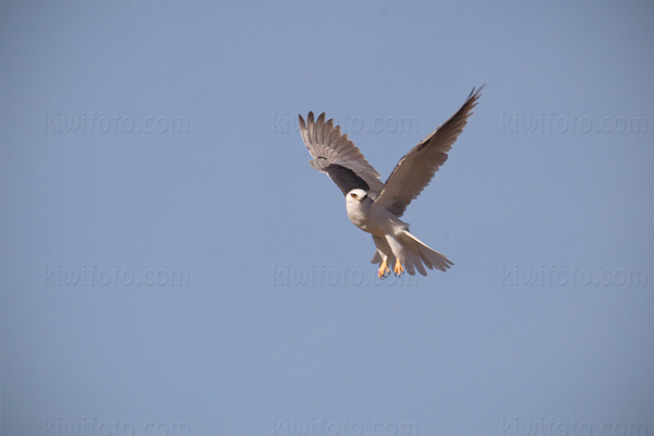 White-tailed Kite Photo @ Kiwifoto.com
