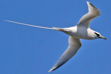 White-tailed Tropicbird Photo @ Kiwifoto.com