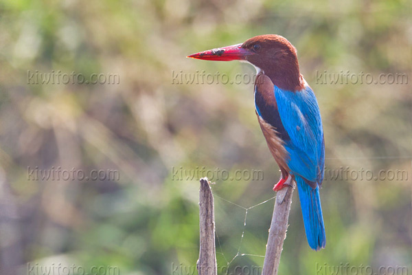 White-throated Kingfisher Picture @ Kiwifoto.com