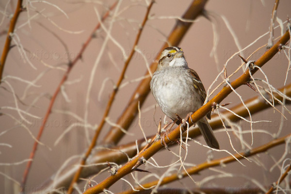 White-throated Sparrow Picture @ Kiwifoto.com