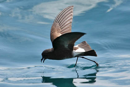 White-vented Storm-Petrel Photo @ Kiwifoto.com