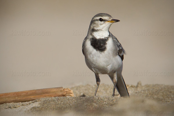 White Wagtail (M.a. ocularis)