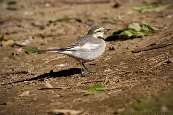 White Wagtail (M.a. lugens 1st year)