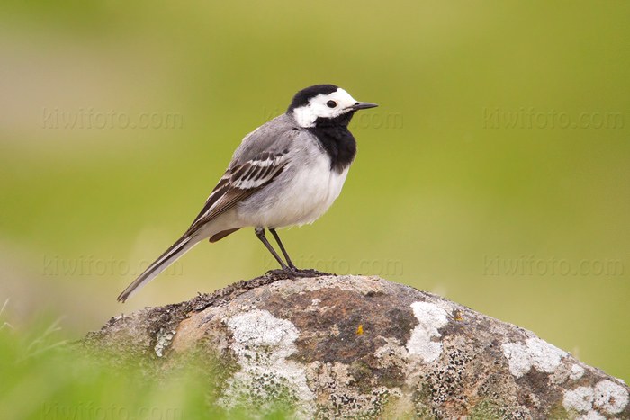 White Wagtail Photo @ Kiwifoto.com