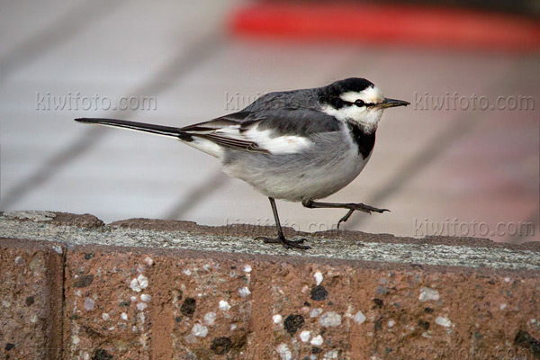 White Wagtail (M.a. lugens)