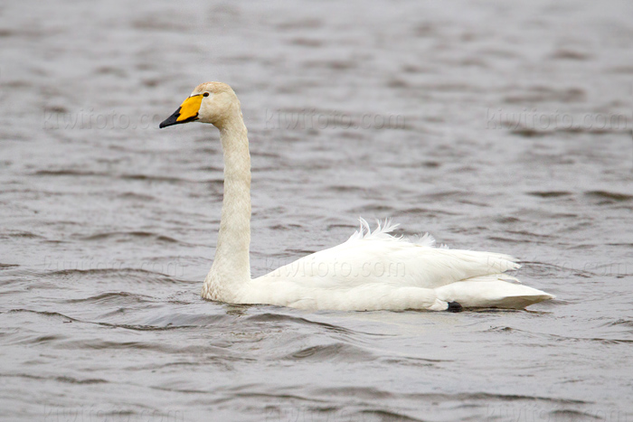 Whooper Swan Photo @ Kiwifoto.com