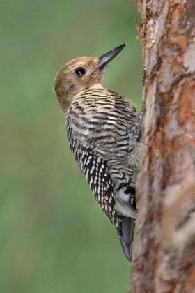 Williamson's Sapsucker (Female)