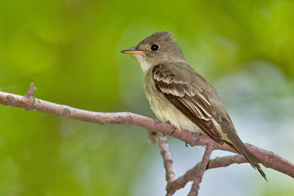 Willow Flycatcher (Eastern)
