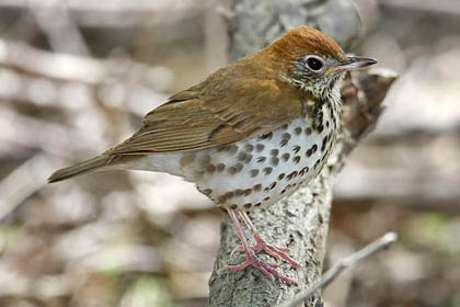 Wood Thrush Photo @ Kiwifoto.com