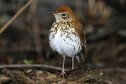 Wood Thrush Picture @ Kiwifoto.com