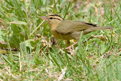 Worm-eating Warbler Picture @ Kiwifoto.com