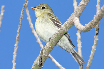Yellow-bellied Flycatcher Photo @ Kiwifoto.com