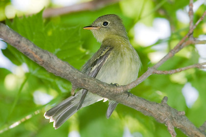Yellow-bellied Flycatcher Image @ Kiwifoto.com