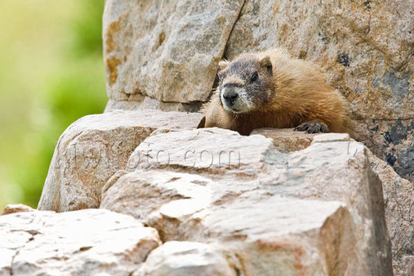 Yellow-bellied Marmot Photo @ Kiwifoto.com